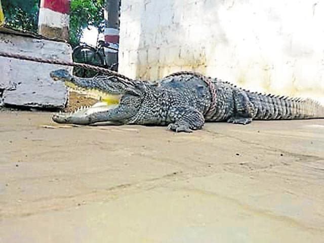 crocodile enters residential area in Shivpuri,crocodile caught in Shivpuri,Gwalior