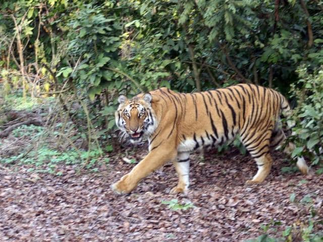 Haldwani forest division has 18 tigers while Ramnagar has 38.