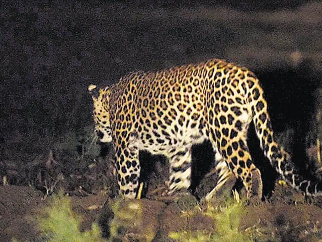 Scientists said it was the first time a leopard sighting was caught on camera at the Yamuna Biodiversity Park.