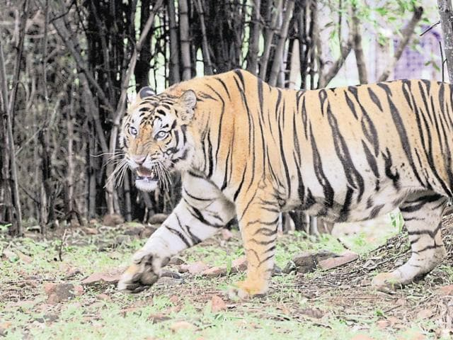 Earlier this month, a 7-year-old male tiger's carcass was found in Bandhavgarh Tiger Reserve'.