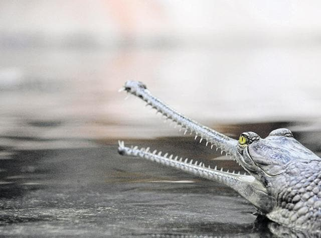 Less than 400 adults of the critically endangered gharial survive in the world today.