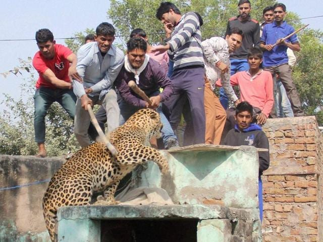 People beat a leopard that ran amok on the streets of Mandawar village for more than three hours.