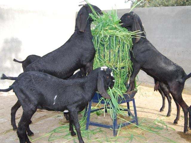Beetal goats found in the Punjab region in India and Pakistan can yield 1.5 to 2 litres of milk a day.