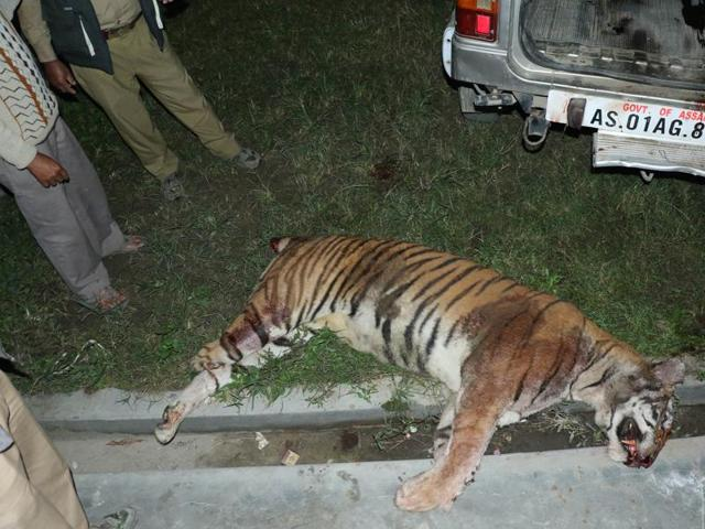 The mutilated carcass of the tigress that was killed by villagers in Jorhat.