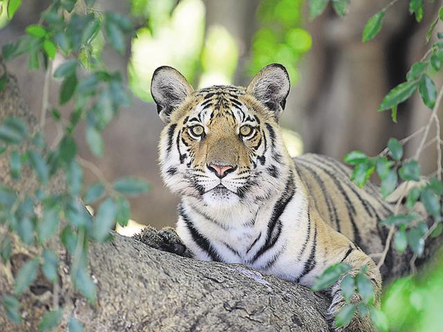A tiger in Pench tiger reserve.