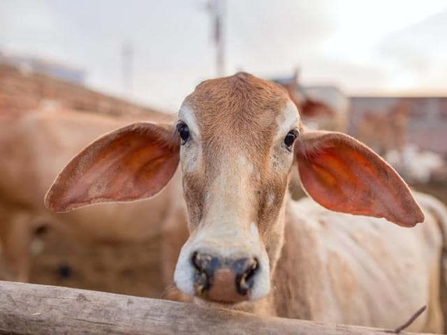 Govt labs researching cow urine for anti-cancer trait