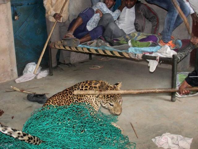 Villagers killed a leopard that had strayed into Mandawar village, near Gurugram.