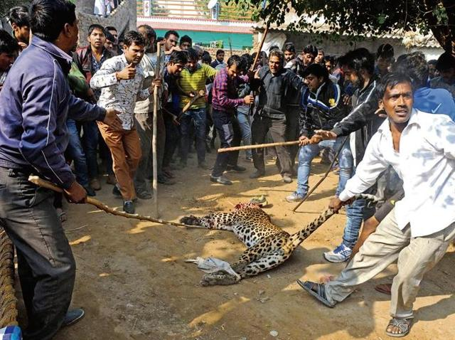 The leopard beaten to death by residents of Mandawar village of Sohna on Thursday was cremated at a reserve forest the same day around 5pm by the wildlife department.
