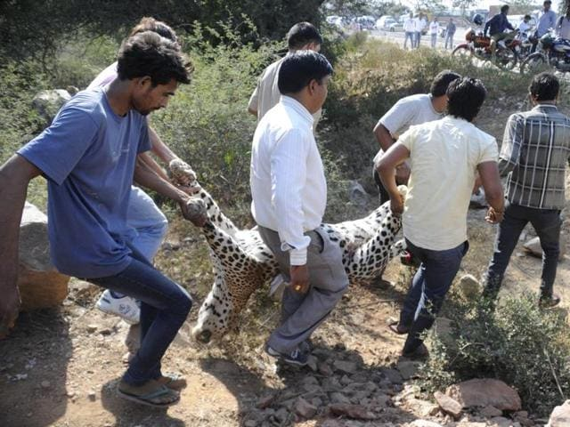 As per the proposal, five leopards in south Haryana will be captured, fitted with a GPS-enabled radio-collar and released back into the forest.