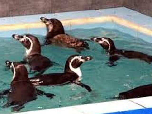 The Humboldt penguins at the Veermata Jijabai Bhosale Udyan and Zoo, Byculla.