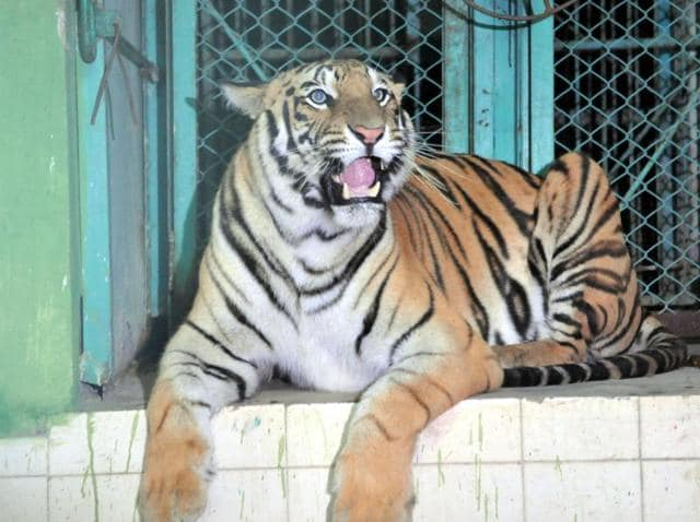 Tigress Jamna was caught after nearly 90 minutes of escaping from the enclosure and put back in its cage in the Indore zoo.