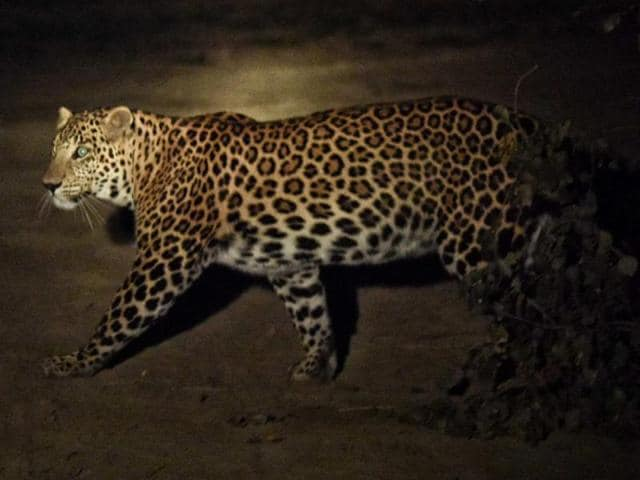 Leopard spotted in Yamuna Biodiversity Park in New Delhi on November 22. The most adaptive of cats, they feed on insects, reptiles, birds and small mammals and never attack humans unless threatened or cornered.