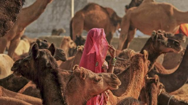 A woman in her traditional attire walks among a herd of camel during the annual Pushkar Camel Fair 2018, in Pushkar, Rajasthan.