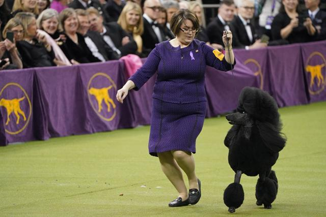 Standard poodle crowned top dog in finale of Westminster