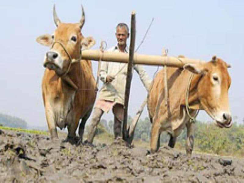 A farmer ploughs his paddy field in Kamalghat village, about 35 km of Agartala.