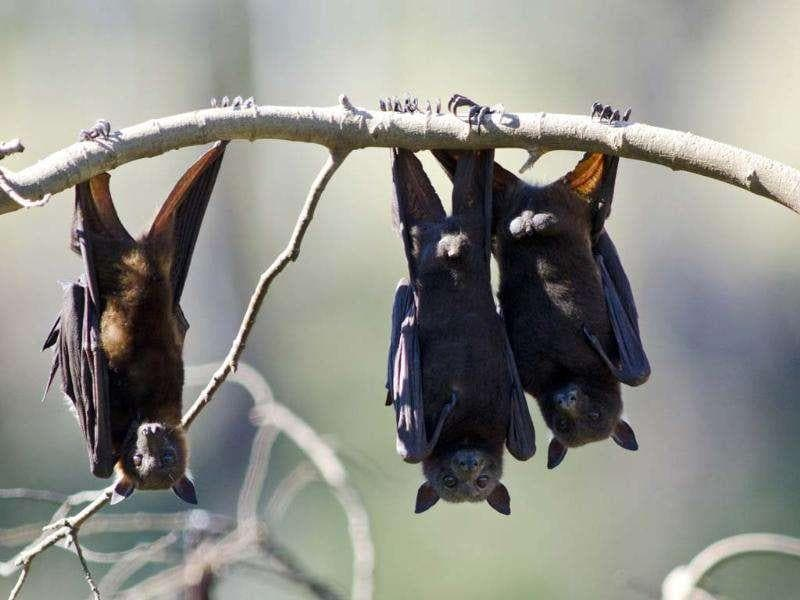 Fruit bats as they hang from a tree in Gayndah, South Eastern Queensland. Horses at a number of Queensland and New South Wales locations have been infected with a 'Hendra' virus carried by bats which is thought to be spread to horses via half-chewed fruit, or water and food contaminated by bats' droppings.