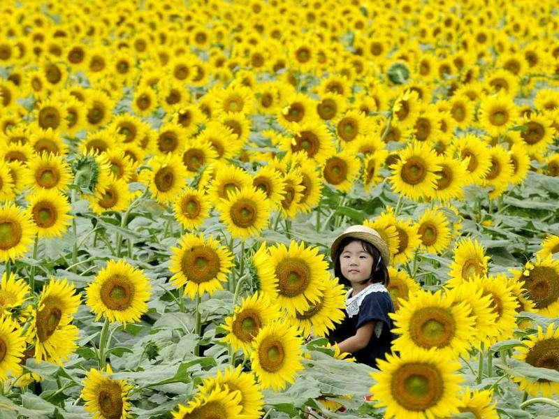 A girl on her father's shoulders looks through a maze of sunflowers growing in a field during a three-day sunflower festival in the town of Nogi, Tochigi prefecture, some 70km north of Tokyo.