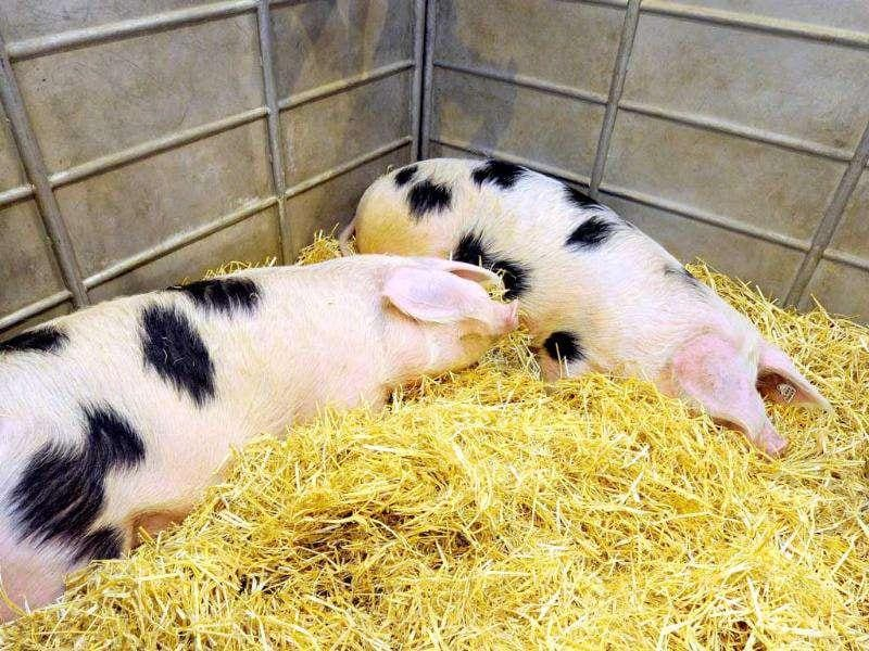 Pigs are pictured at the Paris International Agricultural fair, at the Porte de Versailles exhibition center in Paris.