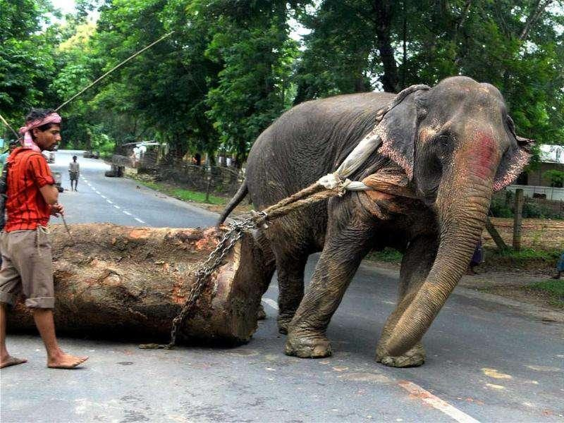 An elephant is used in moving a huge tree trunk in Chakmaghat , outside Agartala.