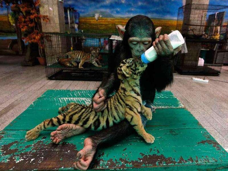 Two-year-old chimpanzee Do Do feeds milk to Aorn, a 60-day-old tiger cub, at Samut Prakan Crocodile Farm and Zoo in Samut Prakan province on the outskirts of Bangkok.
