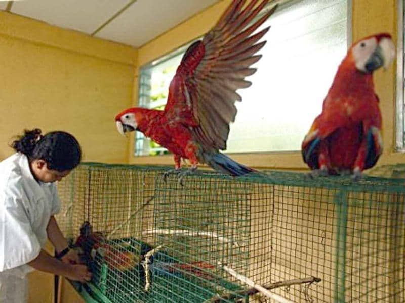 Tatiana Teran, a vet at the Animal Rescue Centre of the National Zoo, puts a Guacamayo Escarlata (Ara macao) in a cage in Managua.