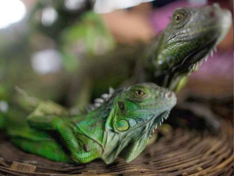 Two baby crocodiles rescued from illegal traffickers remain inside a fish tank before being taken to the Animal Rescue Centre of the National Zoo in Managua.