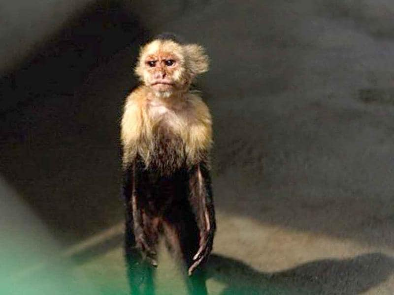 A white-headed capuchin monkey stands inside a cage at the Animal Rescue Centre of the National Zoo in Managua.