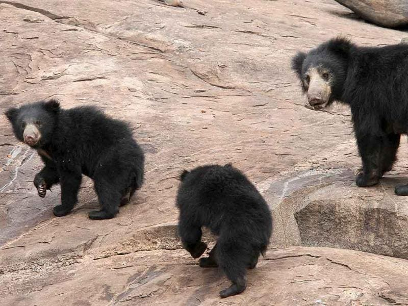 A Sloth Bear family search for food at the Daroji Bear Sanctuary, Karnataka, the only Sloth Bear Sanctuary in South Asia.