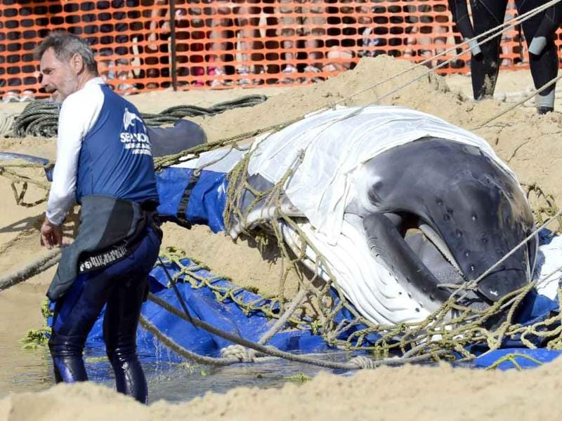 A beached humpback calf waits while a hole is dug by rescuers from the Sea World and the Queensland Department of Parks and Wildlife on Surfers Paradise beach on the Gold Coast, Australia. The whale was later towed out to sea where it began to swim by itself.