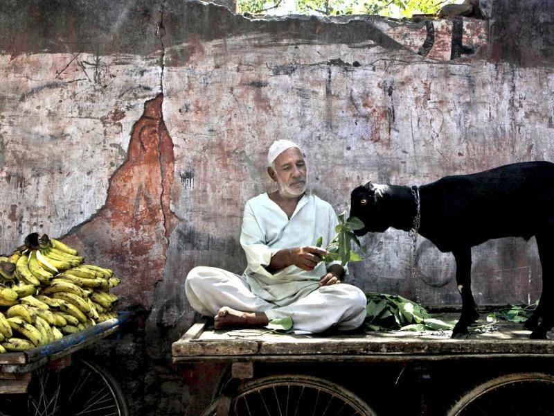 A Muslim vendor sits on his handcart and feeds leaves to his goat in New Delhi.