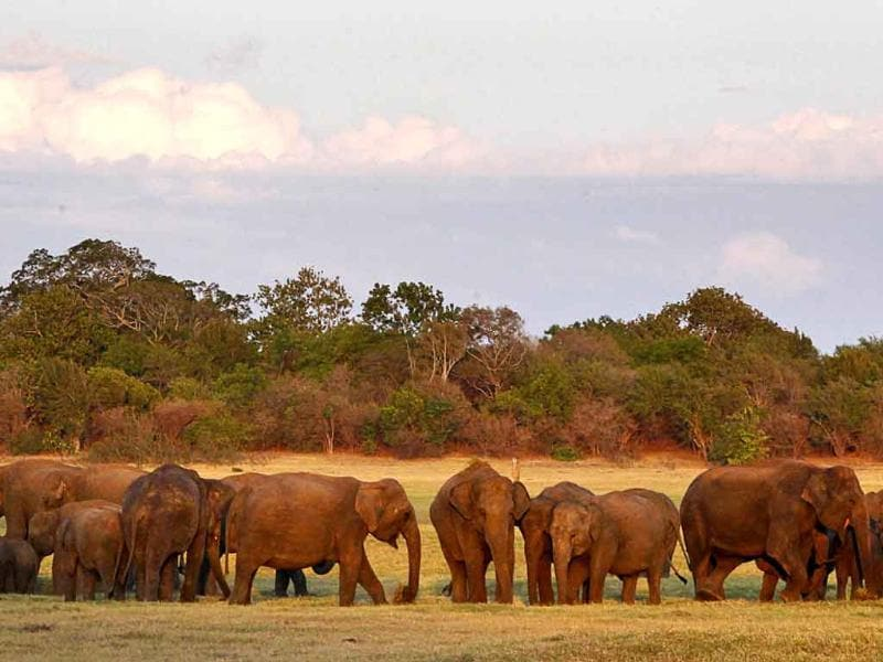 A herd of Asiatic wild elephants gather at a national park in Minneriya, some 200 kilometers from Colombo, Sri Lanka.