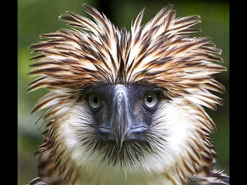 Philippine Eagle Mindanao is seen inside a Philippine Eagle compound in Davao city, southern Philippines.