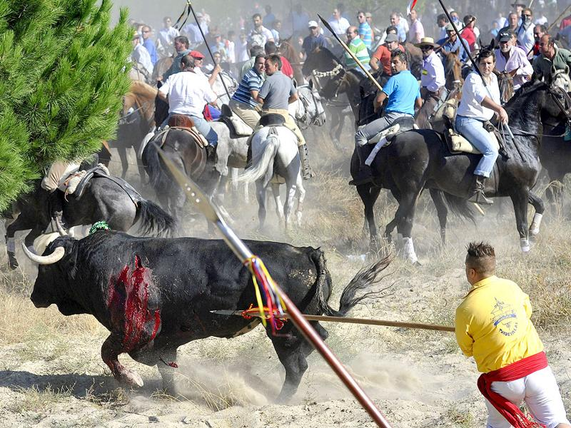 A bull is speared as horsemen ride during the 'Toro de la Vega' bull spearing fiesta in Tordesillas. The festival is one of the oldest in Spain with roots dating back to the fifteenth century.