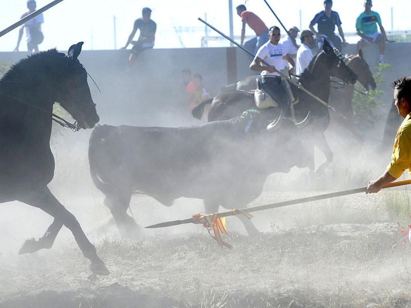 A bull is surrounded by men with spears during the 'Toro de la Vega' bull spearing fiesta in Tordesillas. The festival is one of the oldest in Spain with roots dating back to the fifteenth century.