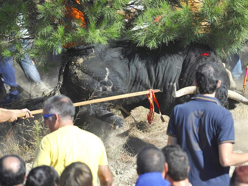 A bull is cornered and speared during the 'Toro de la Vega' bull spearing fiesta in Tordesillas. The festival is one of the oldest in Spain with roots dating back to the fifteenth century.