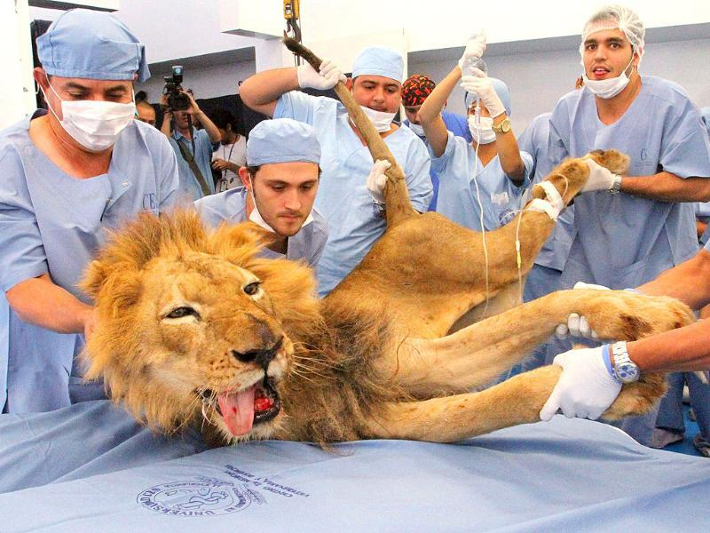 Male lion Tyson receives dental treatment at a veterinary clinic in Medellin. Tyson is a 20-year-old lion living at Santafe Zoo in Medellin.