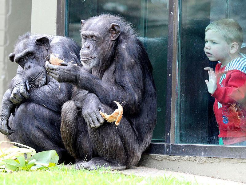 A child watches chimpanzees sharing a coconut in their newly renovated habitat at Taronga Zoo in Sydney.