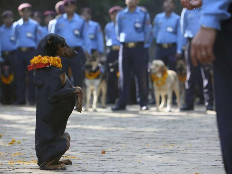 A police dog stands up at the command of its officer during the dog festival as part of celebrations of Tihar at Nepal Police Academy in Kathmandu.