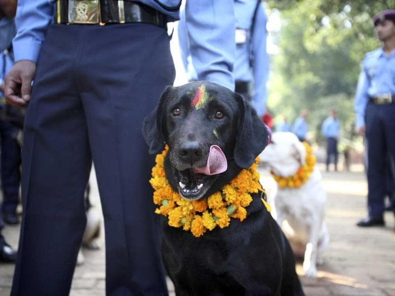 A police dog licks its face after receiving food during the dog festival as part of celebrations of Tihar at Nepal Police Academy in Kathmandu.