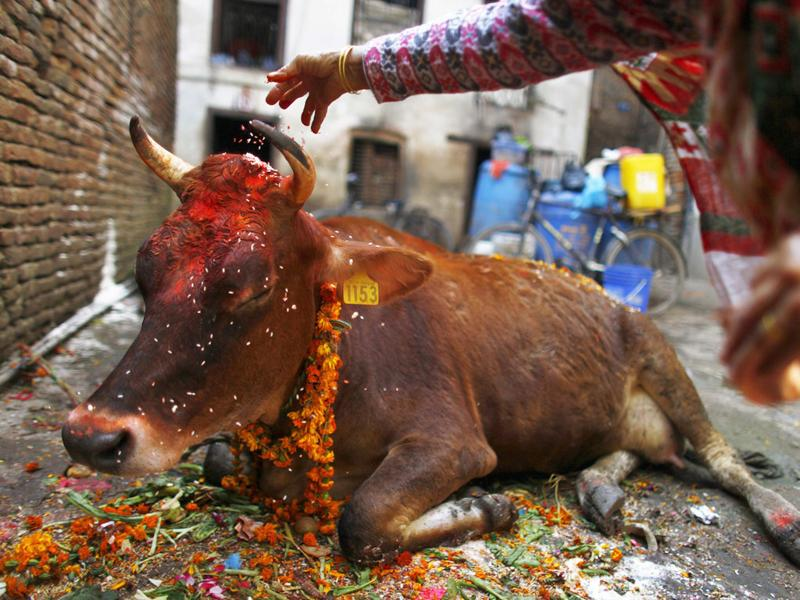 A Nepalese Hindu devotee performs rituals during the Tihar festival, or the festival of lights also known as Diwali, in Katmandu, Nepal. The second day of the five-day long festival is dedicated to the worship of cows, considered as an incarnation of Lakshmi, the Hindu goddess of wealth.