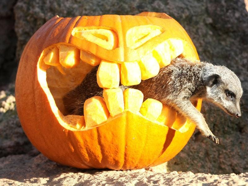 A meerkat climbs out of a shaped pumpkin at the zoo in Hanover, central Germany. Suited to the upcoming Halloween season, the animals' enclosure is decorated with the pumpkin and delights meerkats and visitors.