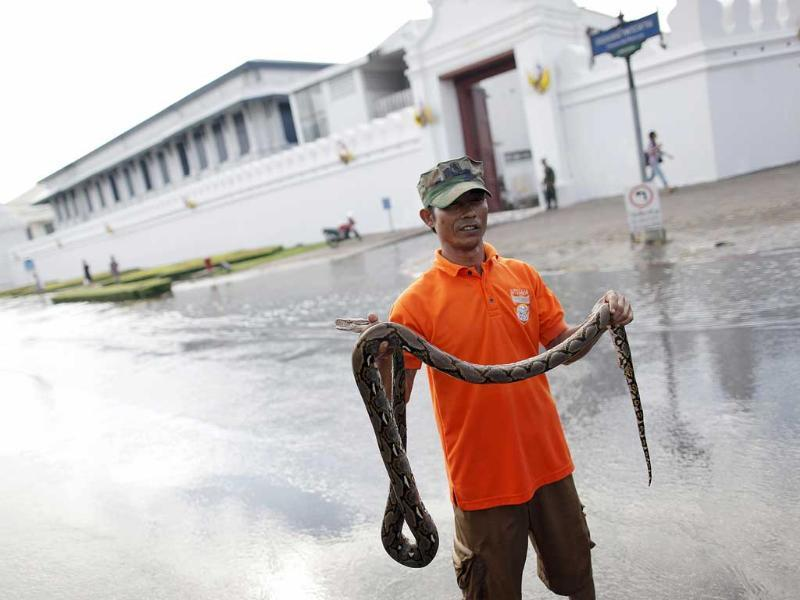 A 42-year-old motorcycle taxi driver Chatchawal Phuengwut poses with a python he caught in floodwaters just outside the Grand Palace in Bangkok.