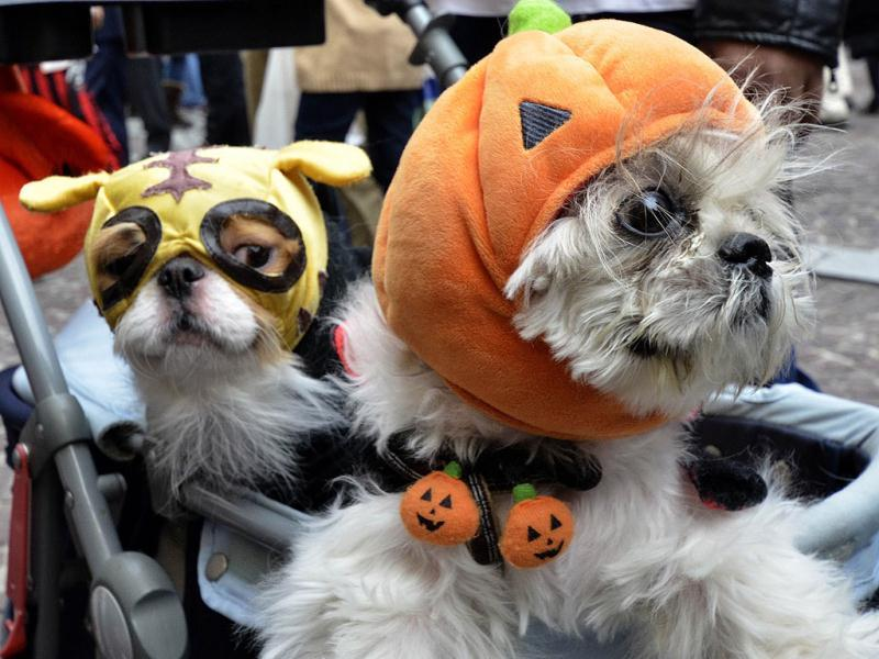 Dogs dressed up in Halloween costumes during the 15th Halloween Parade in Kawasaki, suburban Tokyo. Some 3,000 dressed up participants join the annual fancy parade. (AFP Photo)
