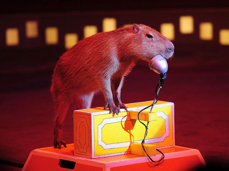 A trained Capybara performs during a Big Apple Circus show in New York.