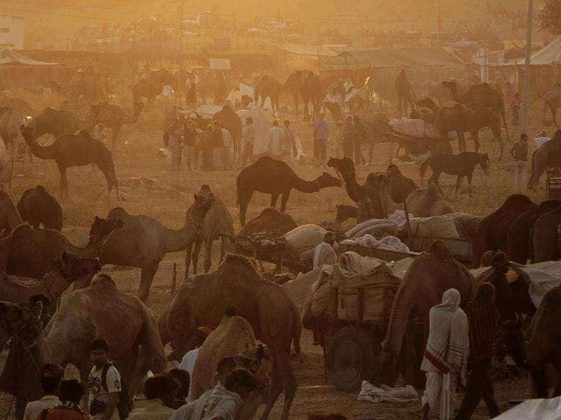 Camel herders start their day in the early morning at the Pushkar fair in Pushkar, Rajasthan. Pushkar, located on the banks of Pushkar Lake, is a popular Hindu pilgrimage spot that is also frequented by foreign tourists for its annual cattle fair and camel races.
