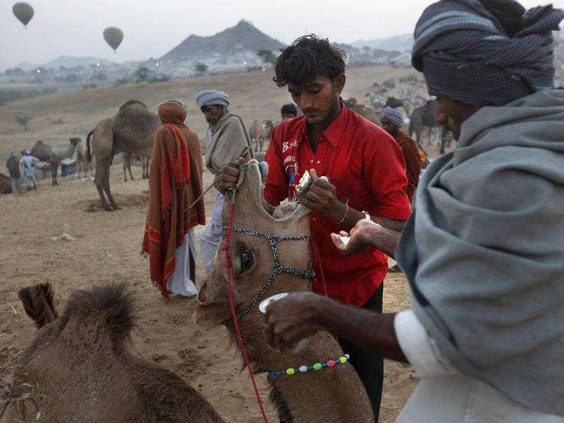 A camel herder tries to open the mouth of his animal to put some medicine at the Pushkar fair in Pushkar, Rajasthan. Pushkar, located on the banks of Pushkar Lake, is a popular Hindu pilgrimage spot that is also frequented by foreign tourists for its annual cattle fair and camel races.