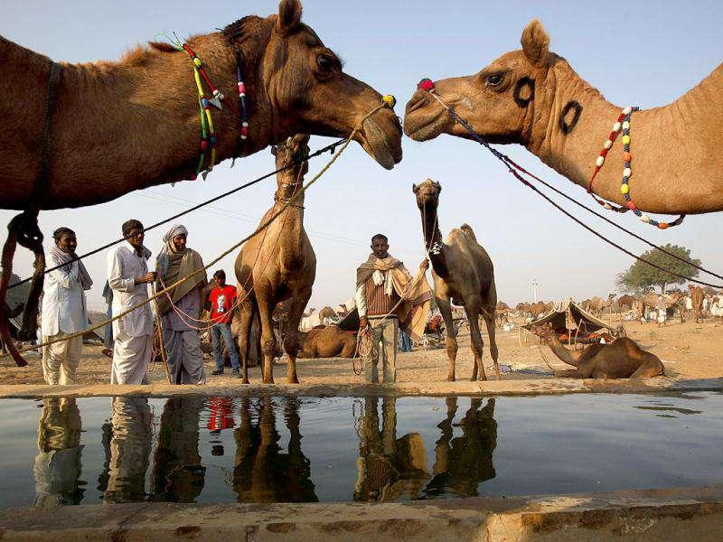 Camels drink water at the Pushkar fair in Pushkar, Rajasthan. Pushkar, located on the banks of Pushkar Lake, is a popular Hindu pilgrimage spot that is also frequented by foreign tourists for its annual cattle fair and camel races.