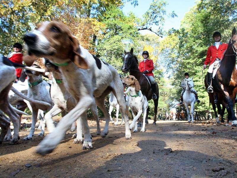 Dogs walk with fox hunters riding horses during the 54th annual opening meet of the Longreen Foxhounds at the Birdlands plantation in Como. There was the traditional blessing of the hounds, followed by the formal hunt with 35 riders, 2 carriages, then a potluck luncheon.