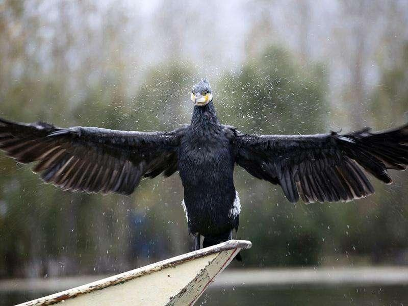 A cormorant flaps its wings as it perches on a boat in Dali, Yunnan province.