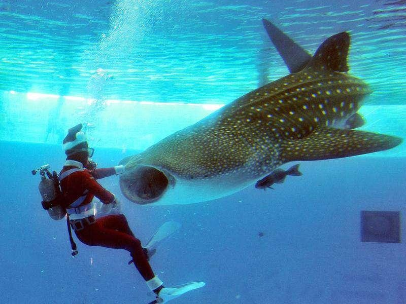 A Santa diver feeds to a five-meter long whale shark